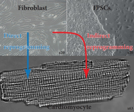 Generation of functional cardiomyocytes by direct and indirect reprogramming of fibroblasts. Fibroblasts derived from skin biopsy from a patient. These cells were then reprogrammed using OSKM factors towards induced pluripotent stem cells. These are then directed to differentiate towards CMs. Fibroblasts can also be directly reprogrammed towards CMs.
