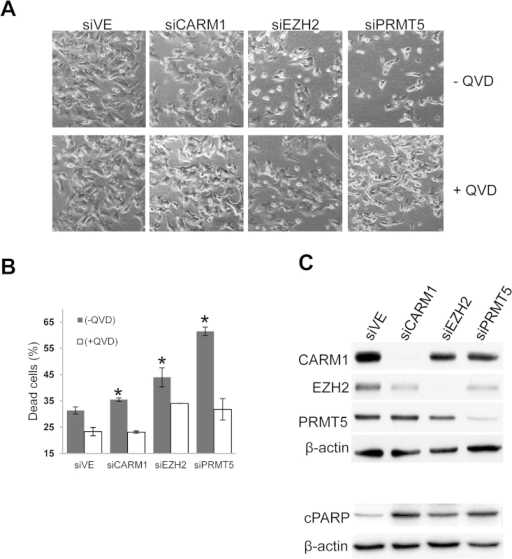 PRMT5 knockdowns induce apoptosis in SK-N-BE(2)C cells. (A) Short-interfering RNAs (siRNAs) targeting CARM1/PRMT4, EZH2 and PRMT5 induced varying degrees of SK-N-BE(2)C growth inhibition and cell death after 72 h incubation. The negative control siRNA is also shown (siVE). Cell death was rescuable using QVD. (B) Percentage of dead cells per siRNA treatment are shown without (black bars) and with (white bars) QVD treatment. Significant differences are shown by asterisks (P < 0.05). (C) Verification of knockdowns (upper panel) and apoptosis by immunoblotting for cleaved PARP (cPARP) (lower panel).