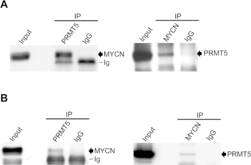 Physical interaction between endogenous PRMT5 and MYCN. (A) Co-immunoprecipitation (IP) of MYCN with anti-PRMT5 antibody (left) and the reciprocal co-immunoprecipitation (right) in NGP cells. (B) Co-immunoprecipitations as above in SK-N-BE(2)C cells.