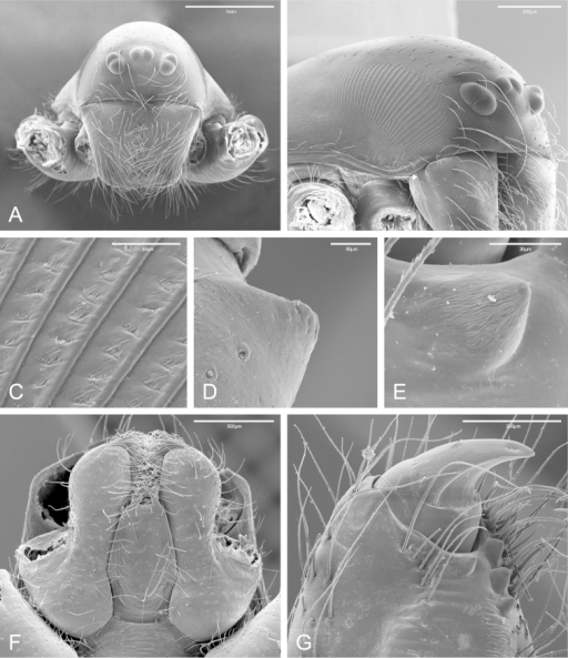 SEM images of Citharocepsfidicina, female from La Jolla, San Diego (CAS 9039517). A cephalothorax, frontal view B cephalothorax, frontal-lateral view, showing the right stridulatory patch, white arrow indicates the lateral proximal depression C stridulatory patch cuticle in detail D cheliceral lateral basal transverse ridge E cheliceral retromarginal tooth F endites and labium, ventral view G distal region of the right chelicerae, ventro-lateral view, showing the fang and the cheliceral teeth.