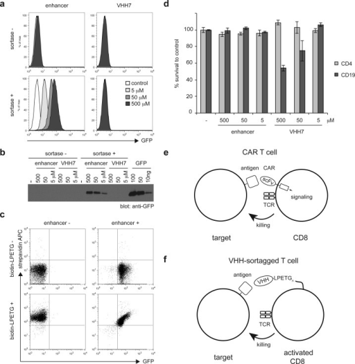 Installation of VHHson mouse lymphocytes. (a) In vitro activated CD8T cells from OTI RAG–/– mice were incubatedfor 1 h at RT with or without 500, 50, or 5 μM of enhancer-LPETGor VHH7-LPETG and with or without 20 μM of sortase A. Controlor sortagged cells were incubated with purified GFP. Binding of GFPwas analyzed by flow cytometry. (b) Control or sortagged cells wereincubated with purified GFP. The amount of bound GFP was estimatedby analysis of cell lysates by SDS-PAGE and immunoblotting againstGFP and comparing the resultant signal to a GFP standard (right lanes).(c) Erythrocyte-depleted splenocytes were incubated with or without500 μM enhancer-LPETG and 20 μM sortase A. After 60 min,500 μM biotin-LPETG was added to reactions where indicated fora further 15 min. Dot plots show the binding of APC-conjugated streptavidinand GFP by sortagged cells after washing. (d) In vitro activated CD8 T cells from OTI RAG–/– mice were incubatedfor 1 h at RT with or without 500, 50, or 5 μM of enhancer-LPETGor VHH7-LPETG and 20 μM of sortase A. Sortagged cells were incubatedwith splenocytes from WT mice for 20 h. Histograms show the percentageof propidium iodide-negative CD4 and CD19 cells, compared to cellsincubated with control activated OTI CD8 T cells. Error bars: standarddeviation (n = 3). (e) CAR T cells are geneticallyengineered to express a synthetic receptor composed of an extracellularsingle-chain variable fragment and one or several cytoplasmic activatingmotifs that mediate signal transduction and T cell activation uponantigen binding. (f) Sortase-mediated conjugation of VHHs on activatedT cells affords redirection of cytotoxicity toward cells expressingthe targeted antigen.