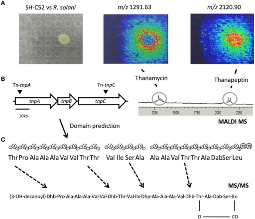 Thanapeptin genetic and chemical analysis. (A) The upper panel shows the interaction of SH-C52 in interaction with R. solani, as imaged by MALDI imaging mass spectrometry (IMS). Thanamycin and thanapeptin detection by MALDI IMS are shown. (B) The middle panel presents the thanapeptin gene cluster with the position of the transposon insertions, and the modules encoded by the gene clusters and the prediction for the amino acids assembled. On the middle left, the partial spectrometry profile of the MALDI IMS of the SH-C52 and R. solani interaction is shown. (C) At the bottom the tentative thanapeptin structure obtained from tandem mass spectrometry data is presented. Dashed arrows indicate amino acids that are difficult to predict from genome information, and that needed to be resolved by mass spectrometry.