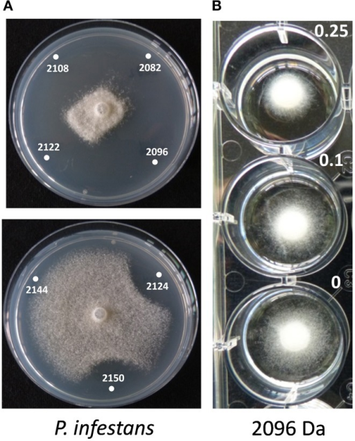 Activity of thanapeptin derivatives against Phytophthora infestans. (A) Activity of thanapeptin tested on plate. Numbers indicated in the pictures are the parent mass of the derivate tested in Da. (B) For the derivate of 2096 Da the growth-inhibitory activity was tested in liquid broth, at different concentrations, indicated in the picture in μg/ml.