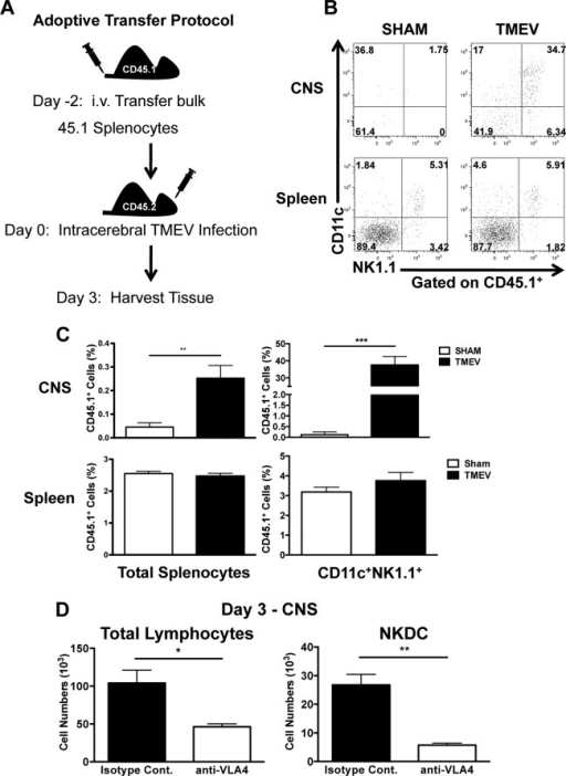 Peripheral NKDCs traffic to the CNS after TMEV infection in a VLA-4-dependent manner. (A) Scheme of adoptive transfer experimental design. Congenic B6 CD45.1 splenocytes were transferred intravenously (i.v.) into CD45.2 WT B6 mice 2 days prior to i.c. TMEV infection. Brains and spleens were harvested 3 days p.i. and analyzed for the presence of CD45.1 donor cells. (B) Representative flow plots of CD11c and NK1.1 expression on CD45.1+ cells in the brain and spleen of TMEV- or sham-infected mice. (C) The percentage of transferred donor CD45.1+ cells and CD45.1+ CD11c+ NK1.1+ is quantitated. (D) Quantification of total CNS lymphocytes and NKDCs (CD3− CD45+ CD11c+ NK1.1+ DX5+) 3 days p.i. in TMEV-infected B6 mice treated with the isotype control (black bars) or anti-VLA-4 (white bars) 6 h prior to infection. Data are representative of 2 independent experiments with 5 mice per group. Error bars show standard deviations. ***, P < 0.001; **, P < 0.01; *, P < 0.05.