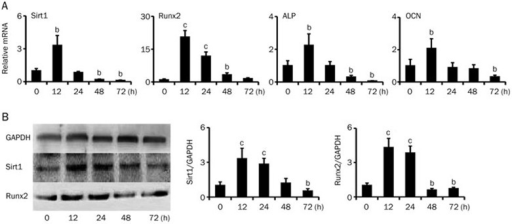 Ox-LDL induced a time-dependent decrease in Sirt1 expression during theosteogenic differentiation of BMSCs fromapoE−/− mice in vitro. BMSCsfrom 18-week-old apoE−/− mice were treatedwith ox-LDL (20 μg/mL). The relative mRNA expression of Sirt1, Runx2,ALP and OCN (A) and protein levels of Sirt1 and Runx2 (Western blotting, B)in BMSCs after exposure to ox-LDL for 0, 12, 24, 48, and 72 h.Mean±SD, n=4. bP<0.05,cP<0.01 vs 0 h.