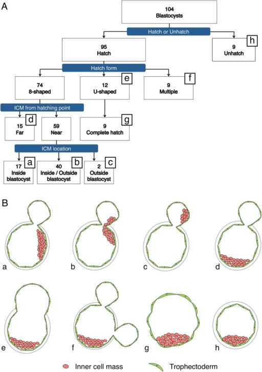 "Sorting and evaluation of blastocysts.Flowchart (A) and schematic of the morphology at 120 h post-insemination (B) of the 104 blastocysts obtained in IVF. Based on morphology, the embryos can be classified into 8 types (B, a-h). Hatching embryos, based on their morphology, can be classified into ""8""-shaped-hatching (a-d), U-shaped-hatching (e), and multiple-hatching-site (f) blastocysts. Only 9 of the U-shaped-hatching blastocysts hatched completely (g). The ""8""-shaped-hatching blastocysts were classified according to the relationship between the hatching site and inner cell mass (ICM) position into the Near group (a-c) and Far group (d). The Near-group embryos were further classified into embryos in which the ICM was located both inside the zona pellucida (ZP) and in the outside blastocyst (b); embryos in which all of the ICM was included inside the ZP (a); and embryos in which all of the ICM was included inside the outside blastocyst (c). The term ""outside blastocyst"" refers exclusively to the specific portion of the blastocyst that lies outside the ZP."