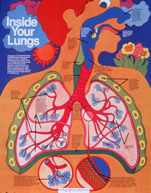 <p>Multicolor poster with white and black lettering.  Title in upper left corner.  Visual image is a cutaway illustration of a boy's respiratory system.  All parts of the tract are labeled and their function described in terms appropriate for a lay reader.  Two close-up illustrations feature the alveoli and cilia.</p>