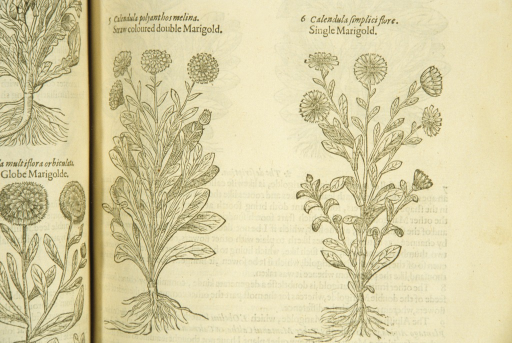 <p>Separate woodcuts of two types of marigold.</p>