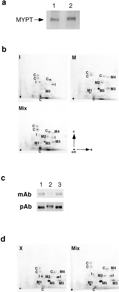 Phosphopeptide analysis of mitotic and interphase  MYPT and in vitro reconstitution of mitosis-specific phosphorylation of MYPT. (a) In vivo phosphorylation of MYPT from interphase or mitotic cells. MYPT was isolated by immunoprecipitation from interphase (lane 1) or mitotic cells (lane 2) that had  been labeled with 32P-orthophosphate. 32P-labeled MYPT was  separated by SDS-PAGE followed by autoradiography. (b) Two-  dimensional tryptic phosphopeptide mapping analysis of in vivo  phosphorylated MYPT. I, MYPT isolated from interphase; M,  MYPT from mitotic cells; Mix, a mixture of mitotic and interphase MYPT; M1–4, phosphopeptide spots specifically observed  in mitotic map; M5, a spot whose intensity is increased in mitotic  map. Phosphopeptide spots specifically observed in interphase  map and spots commonly observed in both interphase and mitotic MYPT are labeled with I and C, respectively. Arrow with e,  electrophoretic dimension; arrow with c, chromatographic dimension; ori, the origin. (c) In vitro reconstitution of mitotic  phosphorylation. Interphase MYPT was prepared by immunoprecipitation and phosphorylated with Xenopus mitotic or interphase extracts. Both samples were separated by SDS-PAGE followed by immunoblotting using the mAb or pAb. Lane 1, a  control without addition of Xenopus extracts; lane 2, MYPT  treated with mitotic extracts; lane 3, MYPT treated with interphase extracts. (d) Phosphopeptide mapping analysis of in vitro  phosphorylated MYPT. MYPT was phosphorylated in vitro using  Xenopus mitotic extracts and analyzed by phosphopeptide mapping (X). For comparison, a mixture of in vivo and in vitro phosphorylated MYPT (Mix) is shown. The mitosis-specific spots are  indicated by M.