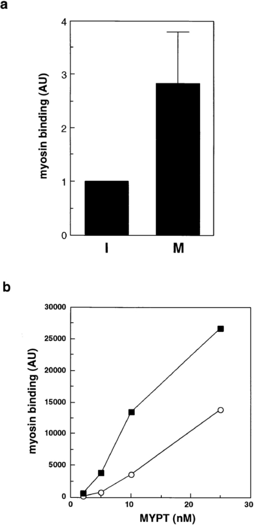 Increased myosin  binding ability of mitotic  MYPT. (a) Mitotic or interphase MYPT was prepared  by immunoaffinity purification and myosin binding activity was determined by  cosedimentation assay with  phosphorylated myosin as  described in Materials and  Methods. The figure shows  myosin binding of MYPT  prepared from interphase  cells (I) or mitotic cells (M).  The values shown are the  means ± SEM from three independent experiments. (b)  Myosin binding activity of in  vitro phosphorylated MYPT.  MYPT was phosphorylated  in vitro with Xenopus mitotic  or interphase extracts and  myosin binding ability was  examined as described in  Materials and Methods.  MYPT phosphorylated with  mitotic extracts (▪); MYPT  phosphorylated with interphase extracts (○).