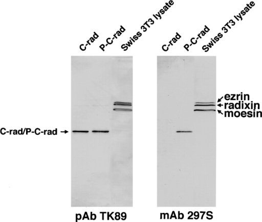 Production of mAb 297S that distinguishes T564-phosphorylated from nonphosphorylated radixin. Nonphosphorylated  C-rad (100 ng; C-rad), T564-phosphorylated C-rad (100 ng; P-C-rad),  and whole-cell lysate of Swiss 3T3 cells under conventional culture conditions (25 μg; Swiss 3T3 lysate) were immunoblotted  with pAb TK89 (pAb TK89) or mAb 297S (mAb 297S). The  former antibody recognized radixin as well as ezrin and moesin  irrespective of their phosphorylation state, whereas the latter distinguished T564-phosphorylated C-rad from the nonphosphorylated molecule. The mAb 297S recognized ezrin and moesin that  were phosphorylated at the corresponding threonine residues,  T567 and T558, respectively.
