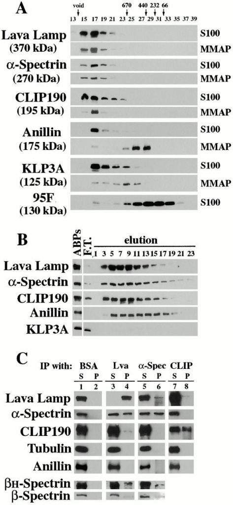 Lva associates with Spectrins and CLIP190. Immunoblots show (A) gel filtration elution profiles for the indicated proteins in the S100 and MMAP fractions. Fraction numbers and the elution peaks for native molecular weight standards are shown at the top. (B) Elution profiles for the indicated proteins that rebind an F-actin column. Lane headings indicate F-actin column load (ABPs), F-actin column flow through (F.T.), and elution fraction numbers. Identical results for each protein were also obtained with the MMAP fraction (data not shown). (C) A mock IP performed with BSA, and IPs performed with anti–Lva, anti–α-Spectrin, and anti–CLIP190 antibodies on the MMAP fraction. Proteins detected by immunoblot are indicated to the left. Comparable amounts of each matched supernatant (S) and pellet (P) were loaded.