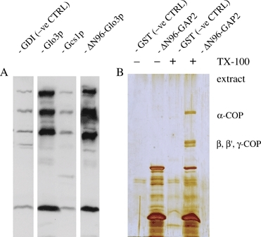 Direct interaction of yeast and human Glo3 with coatomer. His6- or GST-tagged proteins were used to pull down coatomer from yeast or rat liver cytosol, under conditions described by us previously (17). A) His6-tagged Glo3p lacking its amino terminus was compared with full-length Glo3p as well as full-length Gcs1p in its ability to bind coatomer from yeast cytosol. Protein bound to Ni-NTA agarose beads was resolved by SDS–PAGE, followed by Western blotting and incubation with anti-yeast coatomer antibodies detected by ECL. His-tagged Glo3p lacking its ARFGAP domain (ΔN96) still binds coatomer from yeast cytosol in vitro, whereas Gcs1p does not. GTP dissociation inhibitor is used as a negative control here. B) A GST-fusion protein harbouring ΔN96-ARFGAP2 was used for a pull-down from a centrifugation-cleared TX-100 extract of pig brain crude microsomal membranes. Glutathione S-transferase was used as the negative control. Note absence of binding in the negative control and the presence of the characteristic coatomer bands in the pull-down involving the ΔN96-ARFGAP2 GST fusion as the fishing hook. Enrichment of α- and β-COP in the bound fraction was confirmed using antipeptide antibodies (data not shown).