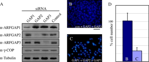 Silencing of all three ARFGAPs is lethal in HeLa cells. Silencing of ARFGAP1 or a combination of ARFGAP2 and ARFGAP3 failed to cause lethality in HeLa cells, as well as in NRK cells (data not shown). A) The depletion of ARFGAP1, ARFGAP2 or ARFGAP3 in single knock-downs in HeLa cells was verified by immunoblotting. Antibodies against tubulin and γ-COP were used to verify equal protein loading. B and C) Cell counting was performed from DAPI-stained HeLa cells grown on coverslips. Note the strong reduction in cell numbers in the ARFGAP triple knock-down compared with a double knock-down involving ARFGAP2 and ARFGAP3 combined with a control oligo. For details of the oligos, see Materials and Methods. D) Quantification of the reduction in cell numbers from the above. More than 75% cell death was routinely observed after three sets of siRNA transfections at the 72-h time-point after the last transfection (in 10 independent experiments). Bar = 100 μm.