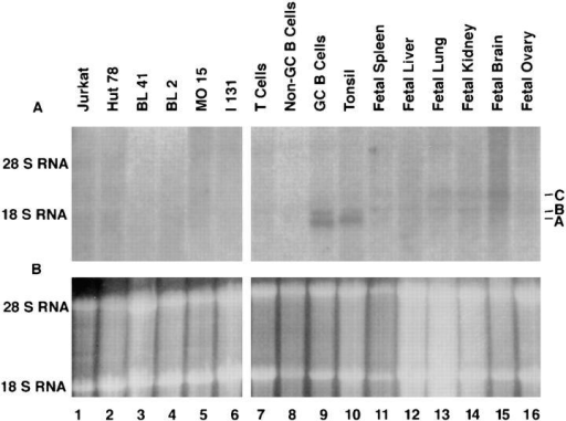 Northern blot analysis of GCN6 and GCN5 expression. 10  μg of total RNA were loaded in each lane. (A) Autoradiogram of the blot  after hybridization with radiolabeled GCN5 cDNA. The three bands referred to in the text are labeled A, B, and C. (B) Photograph under ultraviolet light of the agarose gel used in preparation of the Northern blot after staining of the gel with ethidium bromide to indicate the amount and  integrity of the RNA loaded on the gel.