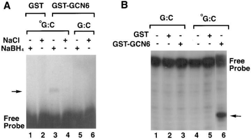 Functional assays of the GST-GCN6 fusion protein. (A)  Trapping of the Schiff base intermediate by the addition of sodium borohydride. Double-stranded, 3′ end–labeled oligonucleotides either with  (oG:C, lanes 1–4) or without (G:C, lanes 5 and 6) an 8-oxoguanine at the  center of the fragment were incubated with either with GST alone (lanes  1 and 2) or GST-GCN6 fusion protein (lanes 3–6) in the presence (lanes  2, 4, and 6) or absence (lanes 1, 3, and 5) of sodium borohydride. The reaction products were analyzed by 8% SDS-PAGE gel electrophoresis followed by autoradiography. The presence of a protein–DNA conjugate  can be detected as a slow mobility band indicated by the arrow. (B)  Cleavage of double-stranded oligonucleotides containing 8-oxoguanine.  Double-stranded, 3′ end–labeled oligonucleotides with or without an  8-oxoguanine were incubated with GST alone (lanes 1 and 5) or GST-GCN6 fusion protein (lanes 3 and 6), and the reaction products analyzed  by electrophoresis in a 12% polyacrylamide-7M urea gel followed by autoradiography.
