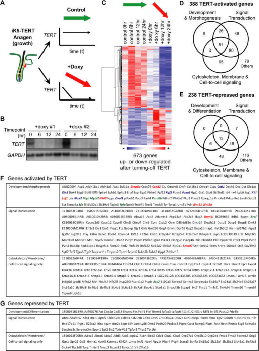Acute Withdrawal of TERT Alters Expression of Genes Involved in Development, Signal Transduction, and Cell-to-Cell Signaling(A) In two cohorts of iK5-TERT mice used for microarrays, TERT was switched on postnatally, inducing anagen at day 60. In TERT ON, or control samples, iK5-TERT mice remained off doxycycline, and TERT expression was maintained (green arrow). In TERT OFF samples, iK5-TERT mice were injected with doxycycline at t = 0, acutely silencing TERT expression (red arrow).(B) Northern blots show rapid silencing of TERT mRNA after doxycycline injection in iK5-TERT mice. GAPDH serves as a loading control.(C) Clustered heat map of TERT-regulated gene expression profile (FDR < 0.05). Control = TERT ON; +Doxy = TERT OFF(D–E) Venn diagrams depicting the distribution of TERT-activated genes (D) or TERT-repressed genes (E) within each functional category.(F) List of TERT-activated genes analyzed in (D). Red, components of Bmp or Wnt pathways; green, cell-cycle–related genes; blue, genes having mouse epidermal phenotypes. Note that not all genes with known functions are color-coded.(G) List of TERT-repressed genes analyzed in (E).