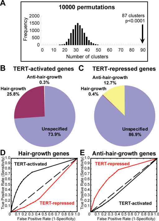 TERT Regulates a Concerted Transcriptional Program Overlapping Hair Growth and Anti–Hair Growth Genes in Normal Hair Cycling(A) Histogram showing the frequency of genes whose start sites clustered using a randomly generated gene list equal in size to the TERT-regulated gene set (10,000 permutations). TERT-regulated genes reside in 87 clusters (black arrow), whereas only 33 clustered genes are expected.(B) TERT-activated genes are highly enriched with hair growth pattern genes (100 hair growth genes; 1 anti–hair growth gene; 287 others).(C) TERT-repressed genes are highly enriched with anti–hair growth genes (30 anti–hair growth genes; 1 hair growth gene; 206 others).(D–E) ROC plots of various TERT-activated gene lists and TERT-repressed gene lists, generated by different FDR thresholds, in predicting hair growth pattern genes (D) or anti–hair growth pattern genes (E).