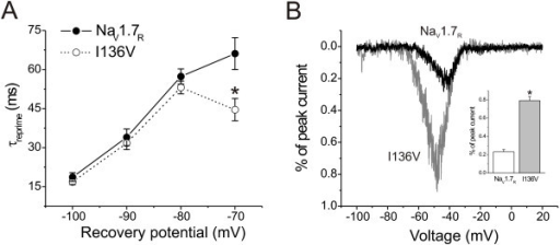 I136V mutation alters recovery from fast-inactivation and increases currents elicited by slow ramp depolarizations. A, Cells were held at -100 mV, and fast-inactivation was initiated by a 20-ms depolarization to 0 mV, followed by a recovery period (2–300 ms) at a recovery potential, followed by a 10-ms test pulse to 0 mV to measure the available channels. Recovery rate were calculated by comparing the peak currents of test pulse to prepulse at 0 mV (20 ms) after various recovery durations (2–300 ms) at different recovery potentials (-100, -90, -80, and -70 mV), and plotted as a function of recovery potentials. Recovery time constants of NaV1.7R and I136V mutant channels were then estimated using single-exponential fits. At a recovery potential of -70 mV, I136V mutant channels (n = 11) recovered faster than wild type NaV1.7R channels (n = 12). B, Representative ramp currents from NaV1.7R (black) and I136V mutant (gray) channels. HEK293 cells were held at -100 mV and a depolarizing voltage ramp from -100 mV to +20 mV was applied at a rate of 0.2 mV/ms. The insert shows mean ramp currents of wild type NaV1.7R and I136V mutant channels. Currents were normalized to the maximal peak currents from step depolarizations in Figure 1B. I136V mutant channels were activated at more negative potentials and generated larger ramp currents than NaV1.7R channels (NaV1.7R: 0.23 ± 0.02, n = 19; I136V: 0.79 ± 0.04, n = 26, p < 0.05).