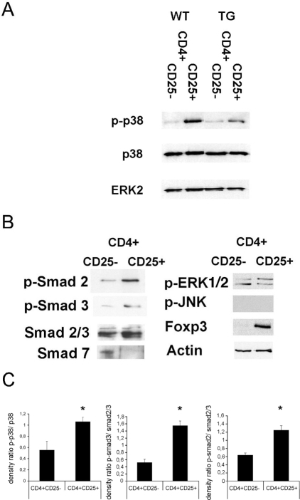 Western blot analysis of MAP kinase and Smad phosphorylation in CD4+CD25− and CD4+CD25+ T cells (2–4×106 cells).A: Analysis of p38 and ERK2 expression as well as p38 phosphorylation in CD4+CD25− and CD4+CD25+ T cells freshly isolated from spleen of wild type mice or transgenic mice overexpressing a dominant negative TGF-beta type II receptor in T cells. B: Analysis of Smad 2/3, Smad 7, Foxp3, actin, p-Smad 2, p-Smad 3, p-JNK and p-ERK1/2 from CD4+CD25− and CD4+CD25+ T cells freshly isolated from spleen of wild type animals. C: Densitometry and ratio of phosphorylated to unphosphorylated p38 and Smad 2/3 (p<0.05). The experiments were at least repeated three times giving similar results.