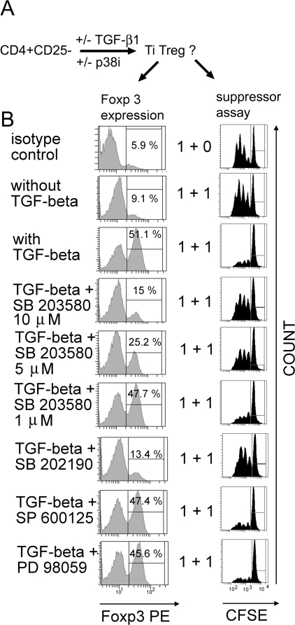 Signaling via p38 MAP kinase is required for the in vitro conversion of CD4+CD25− T cells into TGF-beta1-induced Foxp3+ Treg (Ti Treg).CD4+CD25− T cells were activated with plate bound anti-CD3 mAb (2 µg/ml) and soluble anti-CD28 mAb (2 µg/ml) for 4 days in the presence or absence of TGF-beta1 (2 ng/ml). Kinase inhibitors were added every 12 h (SB203580 (10 µM), SP600125 (10 µM), PD89059 (50 µM)). A: Schematic experimental procedure. Ti Treg: TGF-beta-induced Treg. B: Foxp3-expression and in vitro suppressor assay using CD4+CD25− CFSE-labelled responder T cells isolated from spleen and suppressor T cells generated by in vitro conversion as described above. Cells were washed three times before adding to the culture. Responder and suppressor cells were added at the indicated ratios [×105]. Data are representative of three independent experiments using SP600125, PD89059, SB202190 and five independent experiments using SB203580.