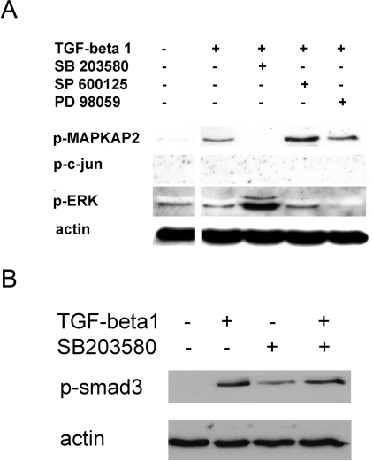 p38 MAP kinase inhibitor SB203580 specifically inhibits the phosphorylation of p38 MAP kinase downstream target MAPKAP2.A: CD4+CD25− T cells were cultured with TGF-beta1 (2 ng/ml) and SB203580 (10 µM), SP600125 (10 µM), or PD89059 (50 µM) for 45 min. Control cells were cultured without TGF-beta1. B: CD4+CD25− T cells were cultured for 4 hours with TGF-beta1 (2 ng/ml) and SB203580 (10 µM). P-MAPKAP2, p-ERK, p-c-jun, p-Smad 3 and actin were determined using Western blot. Results are representative of two independent experiments.