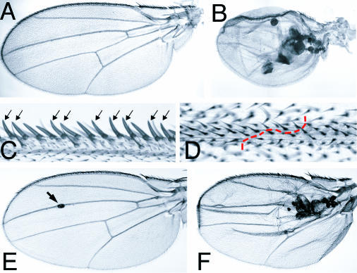 slik Mutant Clones in Adult Wings(A and B) Cuticle preparations of adult wings from w f36a hs-FLP1/Y; FRT42D P(f+) P(f+) M(2)l2/FRT42D slik1 larvae.(A) Adult wing from a larva not subjected to heat shock to induce clones.(B) Wing with large homozygous Minute+ slik1 mutant clones. Note the small size of the wing and the vesicles of black necrotic tissue between the layers of the wing.(C) Detail of a clone in the wing margin. Mutant cells, marked by forked, differentiate as normal wing margin bristles (arrows).(D) Detail of a clone in the wing blade. Mutant cells differentiate as normal wing blade and wing vein cells. The boundary of the clone in the vein is indicated by the dashed red line.(E and F) slikKG04837/slik1 wings. In (E), the arrow indicates a small vesicle in a mildly affected wing.