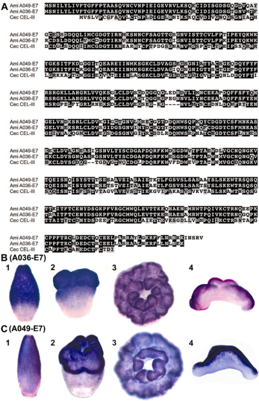 Sequence comparison and whole mount in situ hybridization of lectin coding genes A036-E7 and A049-E7. (A). Alignment of A036-E7 and A049-E7 amino acid sequences with C. echinata CEL-III reveal that they are 82.1% identical (90.6% similar) to one another and 50.4% (65.1%) and 48% (64%) to CEL-III respectively. Black boxes represent identities and grey shaded boxes similarities. Localisation of A036-E7 (B) and A049-E7 (C) transcripts (dark purple) in presettlement planula larvae (1), metamorphosing larvae (2), and postsettlement polyps viewed from the oral side (3), and in cross section with the mouth pointing upward (4). Expression in the oral ectoderm is consistent with a role in metamorphosis or defence against pathogenic microorganisms.