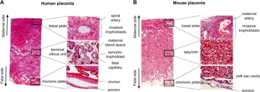 Histology of the placenta in human (A) and mouse (B). The photo of whole layer of the placenta is shown in the left. High magnification of each layer is shown in the right.