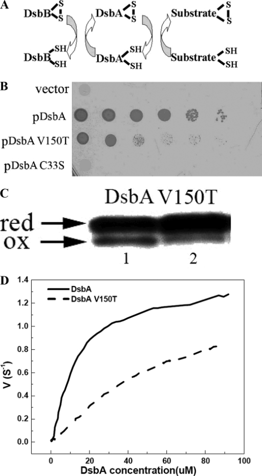 Characterization of DsbA and mutant V150T-DsbB interaction in vivo and in vitro. A, E. coli disulfide bond formation pathway in the periplasm. B, DsbA  mutants are very sensitive to cadmium. In vivo DsbA oxidase activity was examined by measuring the cadmium resistance of DsbA  mutant strains expressing various mutants of DsbA on a plasmid. Spot titers were performed on LB plates with 40 μm cadmium. C33S, represents the DsbA active site mutant of CXXS. C, an acid trapping assay shows the slow oxidation of DsbA V150T by DsbB in vivo. Expression of DsbA and mutants was induced 10 min before AMS acid trapping. Reduced DsbA shows a 1-kDa upshift on SDS-PAGE. D, in vitro measurement of Km and kcat of DsbB catalyzing the oxidation of DsbA and variants by multi-turnover assay. The curves were fit from the average of three independent experiments. Original data are shown in supplemental Fig. S3A.