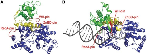 Homology model-based representation of the BLM segment comprising the RecA, ZnBD and WH domains. Shown are homology-modelled structures of BLM in two different conformations, determined crystallographically for EcRecQ (1OYY, A) and human RecQ1 (2WWY, B). Protein segments present in BLM1005 (comprising the two RecA domains) are shown in blue, whereas the additional segment present in BLM1077 (including the ZnBD) is shown in yellow. The green segment (WH domain) is missing from both BLM1005 and BLM1077, but is present in BLM1290 and BLMFL. Pin-like elements implicated in DNA strand separation in various helicases are shown in red. The bound DNA present in the 2WWY-based model is shown in grey.
