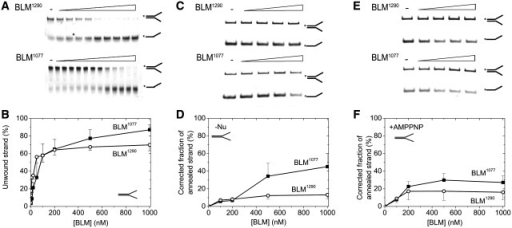 BLM1077 performs effective dsDNA unwinding and detectable strand annealing. (A) DNA unwinding reactions using fluorescein-labelled (asterisks) splayed-arm DNA substrate containing 33 bp of dsDNA and 21–21 nt ssDNA regions. BLM1077 and BLM1290 were incubated with the DNA substrate at different concentrations (0–1 µM) in the presence of 2 mM ATP for 15 min at 37°C. Samples were then deproteinised and run on 12% acrylamide gel. (B) Dependence of the extent of unwinding (%) on BLM1077 (filled square) and BLM1290 (○) concentration. Data were corrected for the fraction of ssDNA in the absence of protein. (C–F) Strand annealing reactions using unlabelled and fluorescein-labelled (asterisks) ssDNA substrates in the absence of nucleotides ('–Nu', C and D) and in the presence of 2 mM AMPPNP (E and F). BLM1077 (filled square) and BLM1290 (○) (0–1 µM) were incubated with the two ssDNA strands capable of forming a splayed-arm structure (identical to those in panel A) for 15 min at 37°C. Samples were then deproteinised and run on 12% acrylamide gel. Data were corrected for the fraction of dsDNA in the absence of protein.