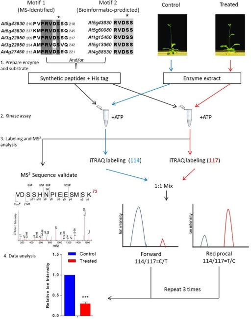 Workflow of in vitro assay for signal-regulated phosphorylation. Upper left panel shows two alignments of conserved sequences of phosphorylation motif generated with CLUSTAL W, which was reported in a previous study (Li et al., 2009). In this case, 9–21 amino acid-long oligopeptide sequences deduced from the primary sequence of an aluminum-induced protein covering the entire phosphorylation motif was employed to search against the non-redundant protein sequence database (organism: Arabidopsis thaliana, taxid: 3702). Candidates with a homology of more than 55.5% are considered to contain the phosphorylation motif. The most conserved candidates are aligned to obtain the motif sequence. The phosphorylation site Ser(S) is marked with a black asterisk and TAIR IDs of the genes are shown on the left. To validate such a prediction, peptides including those amino acid sequences flanking the predicted phosphosite motif are synthesized and used as substrates for in vitro kinase assay. The control or treated means the plant without or with particular treatment of interest, respectively. The quantitation is performed at MS2 spectra by directly comparing the reporter ion intensity. Plant extracts from the control or the treated plants are used separately. Peptides assayed are reciprocally labeled with iTRAQ reagents. Three sets of reciprocal labelings are required before a statistical analysis is performed.