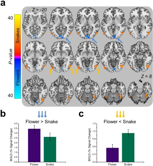 Images of snakes and flowers evoke distinct patterns of activity in visual cortical areas.(a) Series of axial sections displaying the results from the whole brain Snake>Flower comparison. Colors indicate size and direction of F-statistic depicted on brain slice, and correspond to the colors on the scale to the left. (b) Flowers evoke more activity than snakes in lower-level visual processing areas. (c) Snakes evoke more activity than flowers in higher-level visual processing areas. Bar graphs represent the percent signal change in the structures marked by the colored arrows.