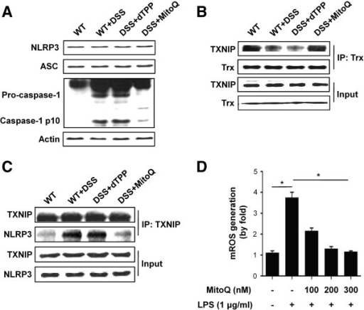 MitoQ inhibits caspase-1 activation through suppression of TXNIP binding to NLRP3 during colitis. (A) Western blotting analysis reveals expression of the NLRP3 inflammasome components in mouse colon homogenates. (B) Dissociation of the TXNIP-TRX complex upon MitoQ treatment, as revealed by co-immunoprecipitation. (C) Co-immunoprecipitation and western blotting analysis identify the interaction of TXNIP with NLRP3. IP, immunoprecipitation; input of cell extract without immunoprecipitation ensures equal loading. (D) Effect of MitoQ on mtROS production in peritoneal macrophages. Results are expressed as mean ±SE. n= 5. *P <0.01.
