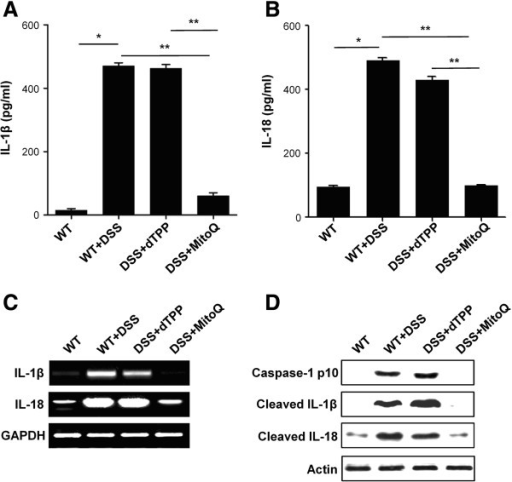 MitoQ suppresses caspase-1-mediated IL-1 beta and IL-18 release during colitis. ELISA assay for (A) IL-1 beta or (B) IL-18 were performed in colon homogenates. Results are expressed as mean ±SE. n=5. *P <0.001,**P<0.01. (C) mRNA expression levels of IL-1 beta and IL-18 in colon tissue were examined by RT-PCR. (D) Cleavages of caspase-1, IL-1 beta and IL-18 were analyzed by western blotting analysis in colon homogenates.