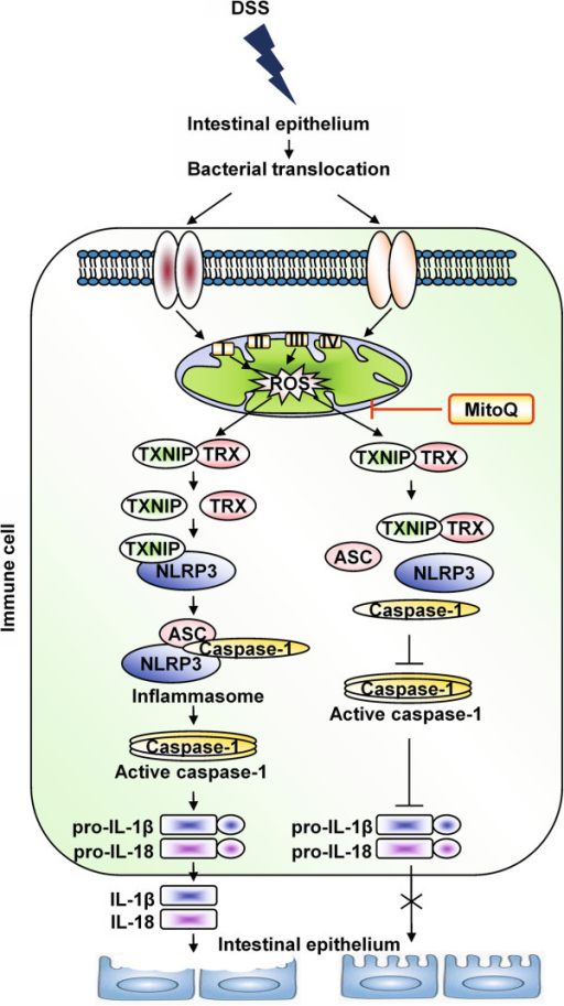 Schematic representation of the mechanism of action of MitoQ during colitis. Increased generation of mtROS in the damaged epithelium and activated macrophages leads to dissociation of TXNIP from the TXNIP-TRX complex. Dissociated TXNIP binds to NLRP3 protein and activates the NLRP3 inflammasome complex, which is responsible for cleavage of pro-inflammatory cytokines pro-IL-1 beta and pro-IL-18 into their active forms, thereby increasing intestinal permeability and tissue injury. Moreover, the NLRP3 inflammasome complex activates the adaptive immune system and exacerbates inflammation. Suppressing mtROS with MitoQ can suppress this pathway and inhibit cytokines release, thereby ameliorating inflammation during colitis.