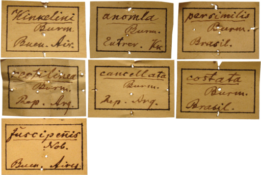 Square labels handwritten by Burmeister. These are the main labels preceding the specimen series.