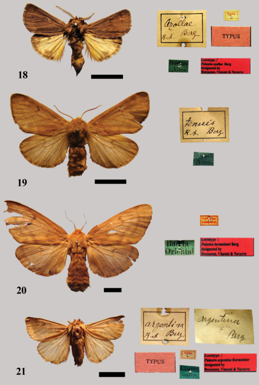 18 Lectotype male Palustra azollae Berg 19 Possible syntype female of Palustra tenuis20 Lectotype female Palustra burmeisteri Berg 21 Lectotype male Palustra argentina Berg.