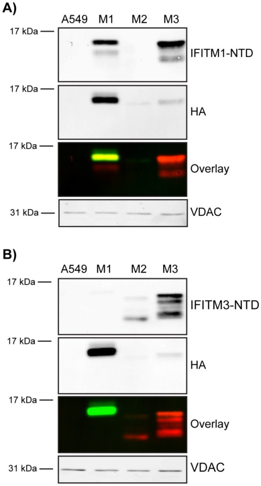 Analysis of IFITM NTD antibodies.Two commercially available antibodies targeting either the IFITM1-NTD or the IFITM3-NTD were screened by western blot to assess specificity using HA-tagged IFITM1-3 (M1, M2 and M3) cell lines along with control A549 cells. Proteins were also identified using the HA epitope. Blots were imaged on a Li-COR Odyssey system that uses far-red fluorophore conjugated secondary antibodies. In the overlay image, red represents anti-IFITM-NTD labelling and green represents anti-HA labelling. A) Anti-IFITM1-NTD detects IFITM1 and shows cross-reactivity with IFITM3. B) Anti-IFITM3-NTD detects IFITM3 and has cross-reactivity with IFITM2. VDAC was used as a loading control.