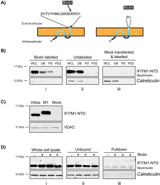 Biotin labelling and pulldown of untagged IFITM1.Untagged, wild type IFITM1 or IFITM1-Vstop expression plasmids were transfected into HEK293T cells. After two days the cells were labelled with cell impermeable Sulfo-NHS-SS-Biotin prior to incubation with NeutrAvidin agarose beads. A) Diagram to show the exposed CTD of IFITM1, with the targeted K122, or IFITM1-Vstop. B) Western blots probed with anti-IFITM1-NTD; WCL – whole cell lysates, UB – material that remained unbound by NeutrAvidin, PD1 and PD2 – two rounds of elution of protein from the NeutrAvidin beads. Gel i shows samples from cells labelled with biotin, gel ii shows unlabelled samples and gel iii shows samples from mock transfected HEK293T cells that were treated with Sulfo-NHS-SS-Biotin. NB. The elution step detached some NeutrAvidin monomers from the beads. These run at approximately 14 KDa and are seen as background bands in the western blots (labelled 'NeutrAvidin'). Calreticulin was used as a loading control and negative control for pulldown specificity. C) Western blot comparing the wild type IFITM1 (M1) with IFITM1-Vstop (Vstop), along with mock transfected HEK293T cells. D) Western blots probed with anti-IFITM1-NTD for whole cell lysates (i) material that remained unbound to NeutrAvidin (ii) and protein eluted from the NeutrAvidin beads (iii). As previously, NeutrAvidin monomers were eluted, and have the same molecular weight at IFITM1-Vstop. This can be clearly seen in the pulldown blot due to the presence of a band in the unlabelled lane.