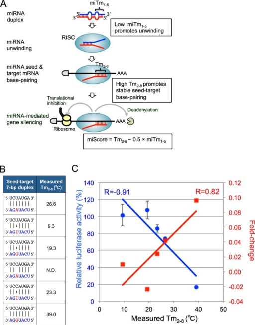 Possible thermodynamic control of miRNA-mediated gene-silencing activity and correlations between Tm values of 7-bp seed-target duplexes and differential fold-changes of expression levels of target transcripts determined by microarray experiments or relative luciferase activities determined by reporter assays. (A) The miRNA with low miTm1–5 value promotes miRNA unwinding into a single-stranded RNA in the RISC, and that with high Tm2–8 value promotes stable base-pairing between miRNA seed region and target mRNA. Thus, the efficacies of miRNA-mediated silencing are determined by the combined thermodynamic parameters that might reflect their unwinding properties (miTm1–5) in addition to their base-pairing stabilities in the seed-target duplex (Tm2–8) shown as a formula, miScore = Tm2–8 − 0.5 x miTm1–5. (B) The duplex structures formed between 7-mer seed sequence of miR-376a-3p containing adenosine, inosine, or guanosine in the possible editing site and target mRNA sequence with uridine or cytidine at the opposite site of editing position, and the measured Tm values of these 7-bp duplexes. The Tm value of the duplex formed between AGAUACU and UCCAUGA could not be measured, probably due to fairly unstable base-pairing and was shown as not determined (N.D). (C) The correlations between the 7-bp Tm values and fold-changes in the expression levels of target mRNAs containing seed complementary sequences in their 3′-UTRs (red), or relative luciferase activities at 50 nM of miRNA duplex (blue). The correlation coefficient (R) between Tm values and differential fold-changes was 0.82, and R between Tm values and relative luciferase activities was -0.91.