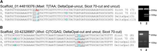 Verification of transcriptome-based predicted varietal SNPs by the CAPS method. The subgenome-specific SNPs are shown in pink and green, and the varietal SNPs are shown in red and blue. The restriction sites used for cleavage of the generated polymerase chain reaction fragments are underlined. The numbers in parentheses after the variety names represent the number of RNA-seq reads with identical sequences to that shown. Lanes 1 and 2 of the agarose gel represent DeltaOpal and Sicot 70, respectively. DNA size markers are indicated in bp. Sub-genome designations (At and Dt) are inferred by comparison to G. raimondii and G. arboreum sequences.