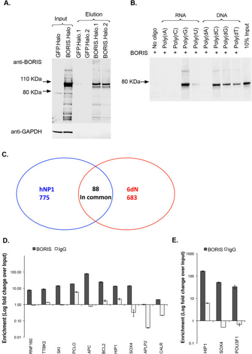 BORIS binds directly to RNA in a nucleotide-specific manner. (A) SDS-PAGE western blot analysis of the purification of Halo tagged BORIS from transfected HEK293T cells. (B)In vitro binding assay using biotinylated RNA and DNA homopolymers and purified recombinant BORIS from (A). BORIS showed association with poly(rG) and poly(rU), but not with poly(rA) or poly(rC). BORIS also showed specific affinity for poly(dT), poly(dG) and poly(dC) DNA while no binding was observed to poly(dA) or the streptavidin beads alone (No oligo, lane 1). (C) Venn diagram showing the number of identified BORIS associated transcripts in hNP1 and hNP1 cells differentiated to neurons over 6 days (6dN) as well as the number of transcripts associated with BORIS in both cell types. RT-qPCR confirmation of BORIS associated transcripts in hNP1 (D) and 6dN cells (E). Data in (D) and (E) represent 2 technical replicates ± SD.