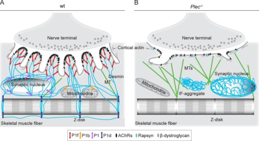 Schematic model of endplate regions depicting cytoskeleton anchorage in wt and plectin-deficient myofibers. (A) In normal myofibers, plectin isoform P1f, specifically bound via its N-terminal molecular domain to endplates, recruits desmin IFs (in blue) via its C-terminal IFBD; in addition, P1f interlinks IFs with DGC constituent proteins laterally along the infoldings. In a similar way, other isoforms of plectin specifically link the nuclear/ER membrane (P1), mitochondria (P1b), and Z-disks (P1d) to the IF network. In this way, a highly organized IF network mechanically integrates endplates, cytoplasmic organelles, and the contractile apparatus, stabilizing the synaptic microenvironment and enabling incorporation of AChRs into stable clusters. (B) In plectin-deficient myofibers, the IF network becomes unbound from endplates and the sarcolemma, leading to its collapse and aggregation. This causes marked architectural abnormalities of endplates (such as loss of infoldings), reduced AChR cluster stability, and profound changes in the synaptic microenvironment, including altered morphology of myonuclei (unpublished data) and mitochondria, as well as accumulation of MTs (in green).