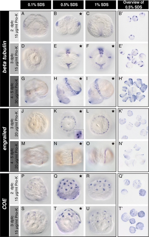 A pre-hybridisation treatment with different SDS concentrations significantly affects the WMISH signal.L. stagnalis larvae of different ages were subjected to pre-hybridisation treatments with varying amounts of SDS and then hybridised with anti-sense probes to beta tubulin(A-I), engrailed(J-O) and COE(P-U). For all genes and larval ages, treatment with 0.1% SDS did not generate consistent or strong WMISH signals (A, D, G, J, M, P and S). Treatments with both 0.5% and 1% SDS produced strong WMISH signals for beta tubulin and engrailed in larvae aged three to five days post first cleavage (dpfc), with high spatial resolution (inlet in K). For COE 0.5% SDS outperformed the 1% SDS treatment (T vs. U). Black stars indicate optimal treatments. Note that some treatments produced equally good results. The most consistent results (defined as constantly good signals among genes and ontogenetic stages with little variation between individuals within an experiment) were achieved with 0.5% SDS (examples shown in B', E', H', K', N', Q' and T'). Larvae in A-C and M-R are shown from an apical perspective, larvae in D-F are viewed ventrally, G-I laterally and J-L and S-U dorsally.