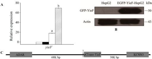 (A) The expression levels of gene yieF in different conditions determined by qRT-PCR. Relative level of yieF mRNA was measured in HepG2 (▤), Cr(VI)-treated HepG2 (■), HepG2-YieF (▢) and Cr(VI)-treated HepG2-YieF (▨) cells. Data were normalized to β-actin expression as a housekeeping gene. The values are the mean of four replicates. There are significant differences (p < 0.05) between the two bars marked a and b; (B) Detection of GFP-YieF fusion protein by western blotting. Molecular weight of GFP-YieF is about 50 kDa; (C) The integration of yieF in human chromosome 1. Grey boxes on the 5ʹ and 3ʹ sides of yieF indicated genes located on Chr 1. Grey line immediately upstream of yieF marked 1 indicate predicted TF binding sites including TBP, Sp1 and CBP100 binding sites. The diagram was not drawn to scale. ADAR, adenosine deaminase, RNA-specific; KCNN3, potassium channel, calcium activated intermediate/small conductance subfamily N α, member 3.