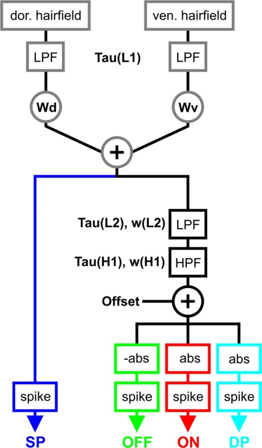 A computational model for different DIN types.Four groups of DINs can be modelled in the same computational framework, using only two modelled hair fields (see Fig 3) as input elements. Modelled DINs integrate afferent spike trains from both hair fields by use of linear low-pass filters (LPF) and weighted summation of the two input streams. In the model variant for simple position-sensitive DINs, represented by the left, blue branch, the weighted sum of the two input streams is fed directly into the spike generator (spike). The right branches show the model variant for OFF-type (green), ON-type (red), and dynamic position-sensitive DINs (cyan). This branch contains additional linear filters, subtraction of an offset and a group-specific rectification (abs., see Table 2 and text). Parameters that were varied to model different DIN types are shown in black. Wd: weight of dorsal hair field input; Wv: weight of ventral hair field input; +, addition, Offset: offset used to shift the DIN activation. LPF: low pass filter; HPF: high pass filter. Tau and w describe the time constant and the weight of the respective filters. The parameter settings are given in Table 2.