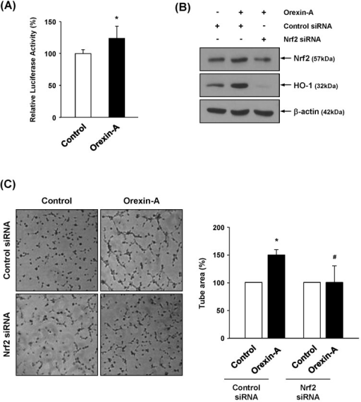 Influence of the ARE-Nrf2 pathway in orexin-A-mediated HO-1 induction and angiogenesis. (A) HMECs transfected with an ARE-luciferase construct were treated with orexin-A (200 nM) for 3 hr. The cell extracts were prepared and analyzed using a luminometer. Three independent experiments were performed. *p<0.05 vs. control. (B) HUVECs were transiently transfected with control or Nrf2 siRNA (1 µM) by Amaxa nucleofector, followed by treatment with orexin-A for 2 hr. The expression of Nrf2 and HO-1 was determined by Western blot analysis. (C) For tube formation assays, Nrf2 siRNA-transfected cells were seeded on growth factor-reduced Matrigel. Cells were incubated with orexin-A (200 nM) for 4 hr. Newly formed tubes were photographed, and tube areas were quantified from at least three individual experiments. *p<0.05 vs. control; #p<0.05 vs. control siRNA with orexin-A.
