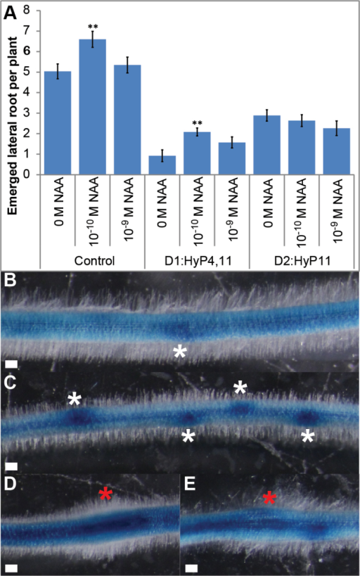 Interactions of MtCEP1 peptides with NAA treatment and CEP peptide effect on GH3:GUS expression in roots. (A) Lateral root formation on 14-day-old plants grown on medium with or without synthetic D1:HyP4,11 or D2:HyP11 in the presence of NAA at 10–9 M or 10-10 M or 0M as the control. (Student's t-test; **, P ≤ 0.01; n ≥ 16). (B) Non-treated control roots showing the formation of young lateral root primordium expressing GH3:GUS (white asterisk). (C) The D2:HyP11 peptide which stimulated the formation of lateral root primordia showed strong staining (white asterisks). (D, E) CCP sites (red asterisks) induced by the D2:HyP11 (D) and D1:HyP4,11 (E) are shown. Scale bars, 100 µm.